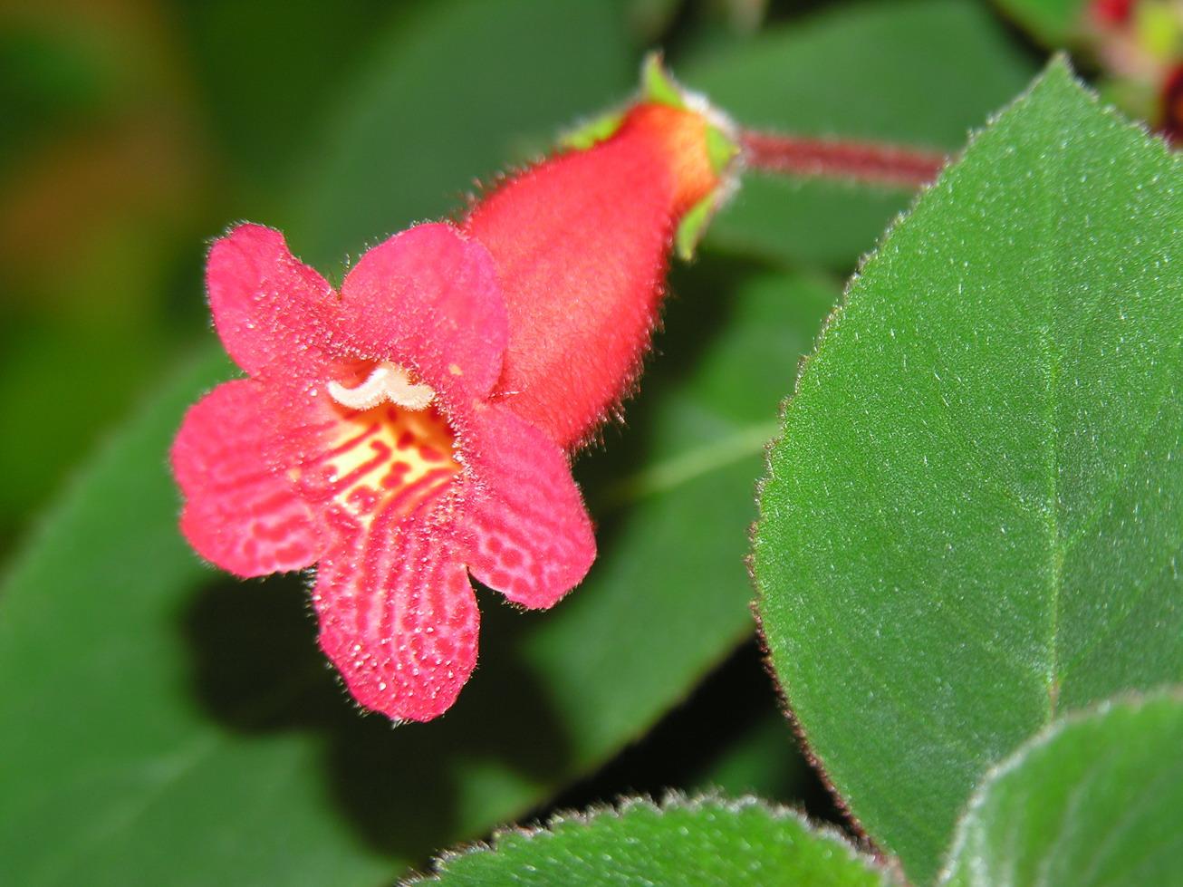 Цветы семейства геснериевых фото