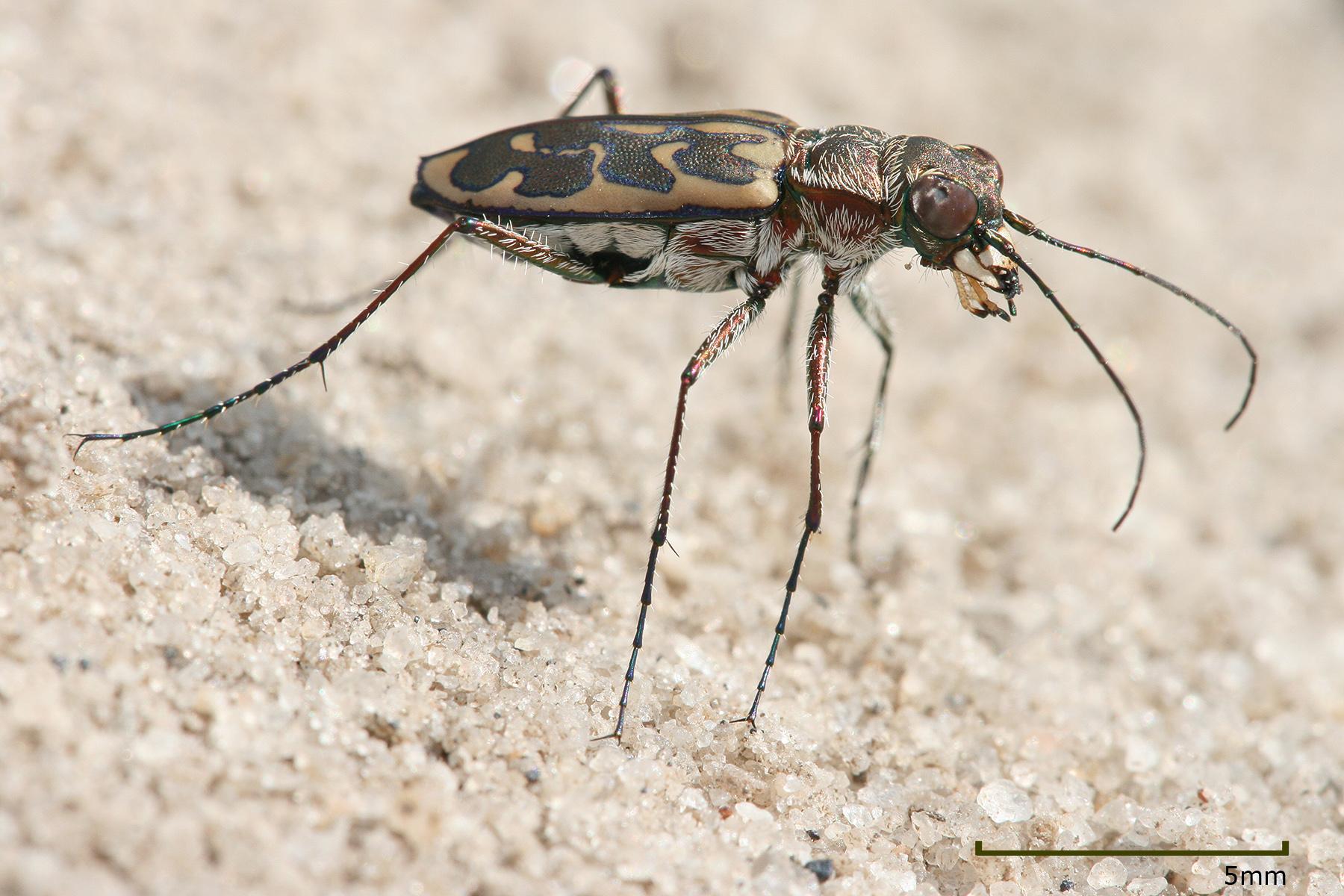 Cicindelinae Wikipedia