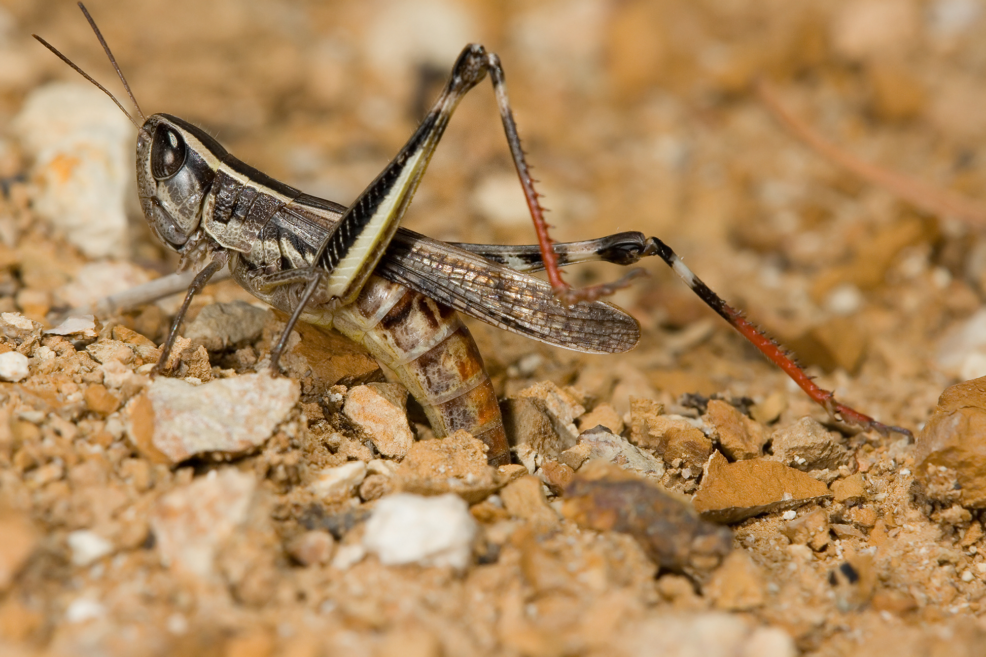 Cricket Laying Eggs