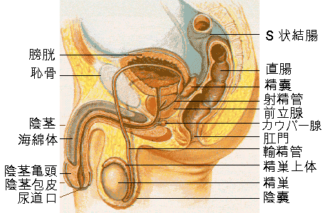 Male reproductive system lateral ja