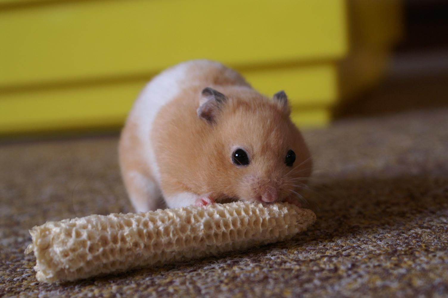 Mesocricetus newtoni Romanian Hamster