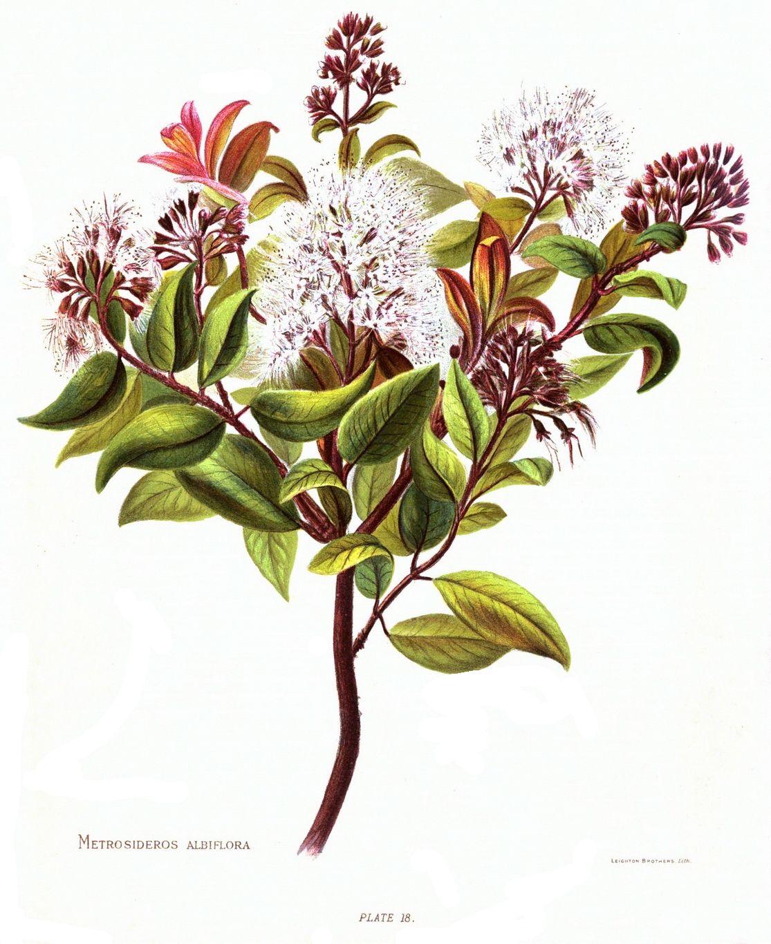 Metrosideros albiflora wikipedia izmirmasajfo