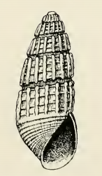 Odostomia licina 001.png