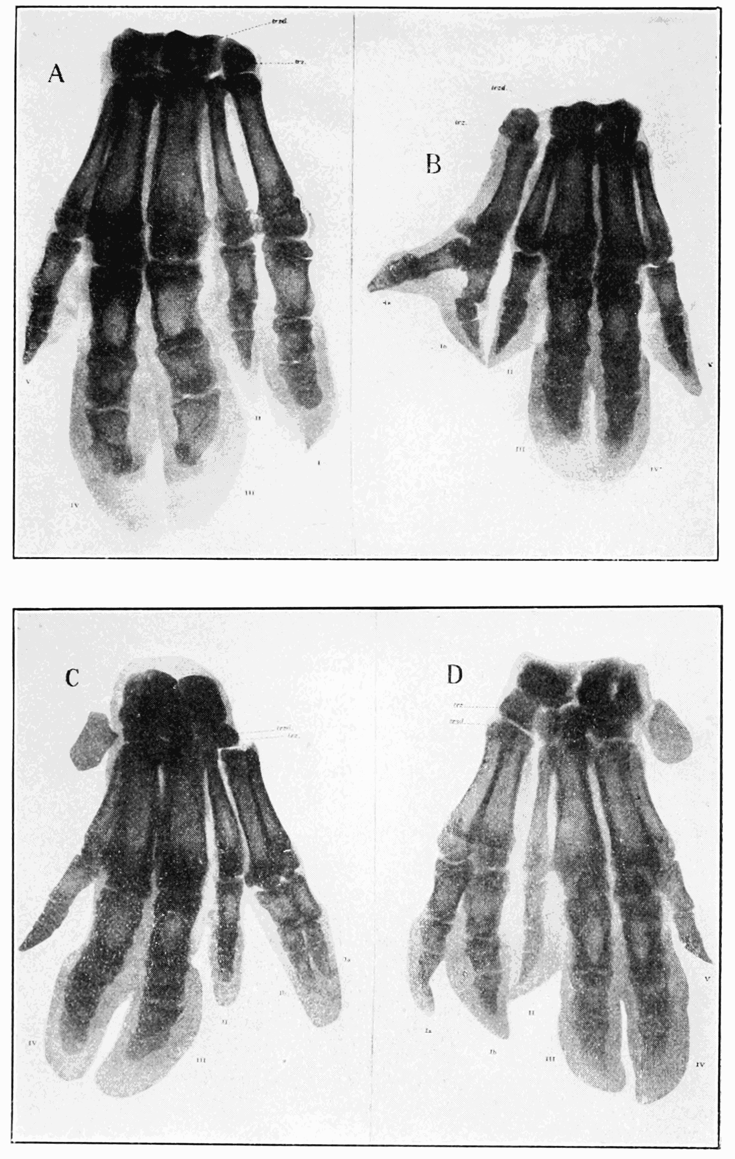PSM V68 D345 X rays of the variations and duplications of the pollex of the pig manus.png