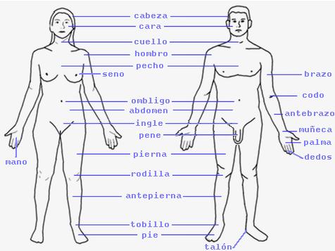 Archivo:Partes exteriores del cuerpo humano.png - Wikipedia, la ...
