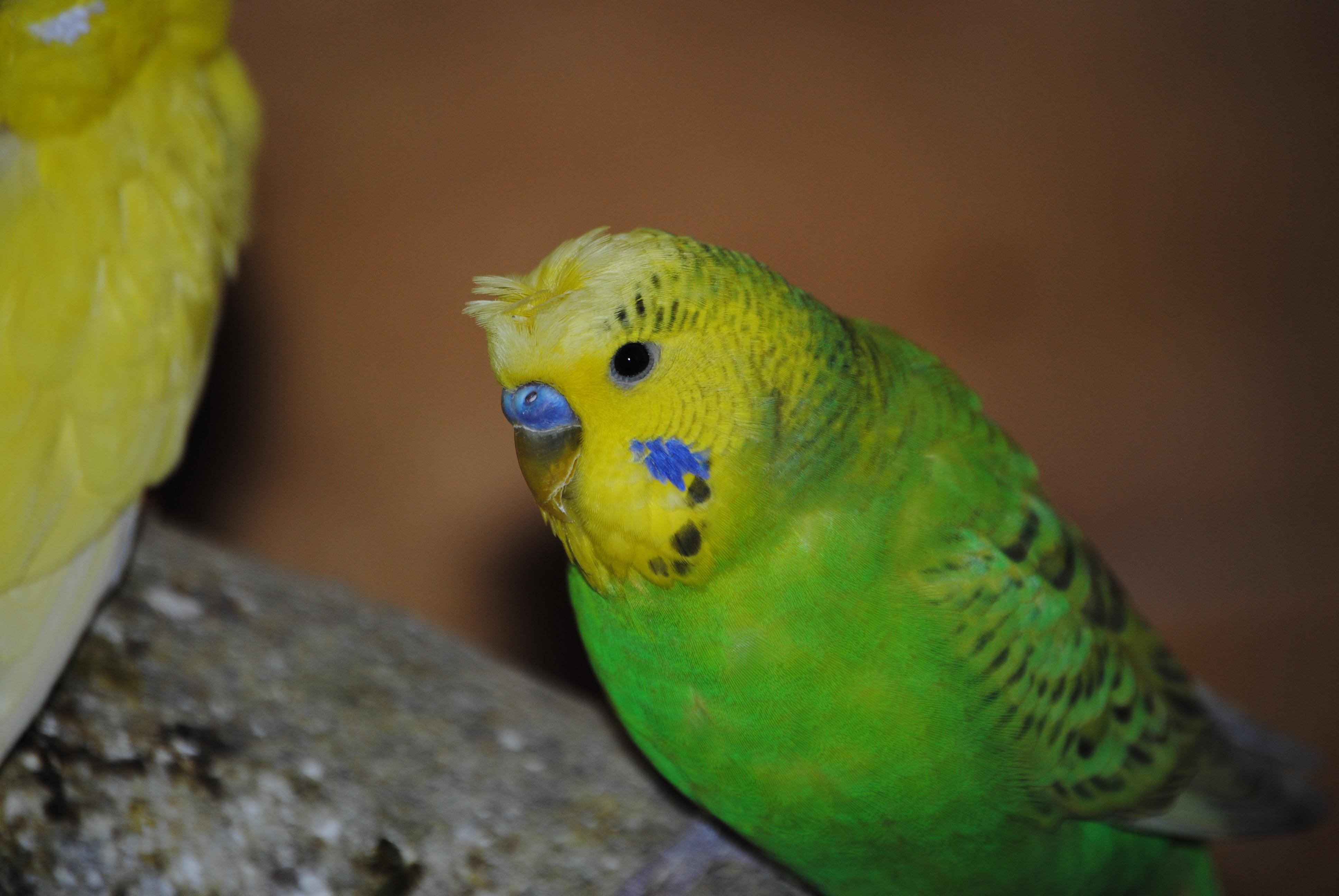 Perruche ondulee oiseaux daily geek show - Dessin perruche ...
