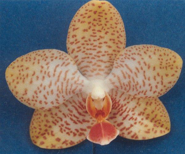 File:Phalaenopsis Barbara Moler x Johanna 52-24x.jpg