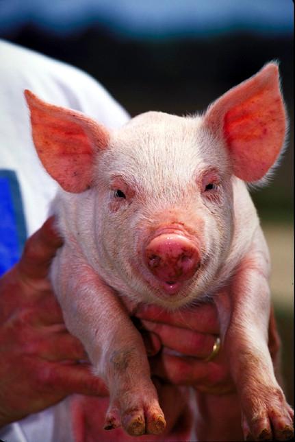 Pigs - Wikiquote