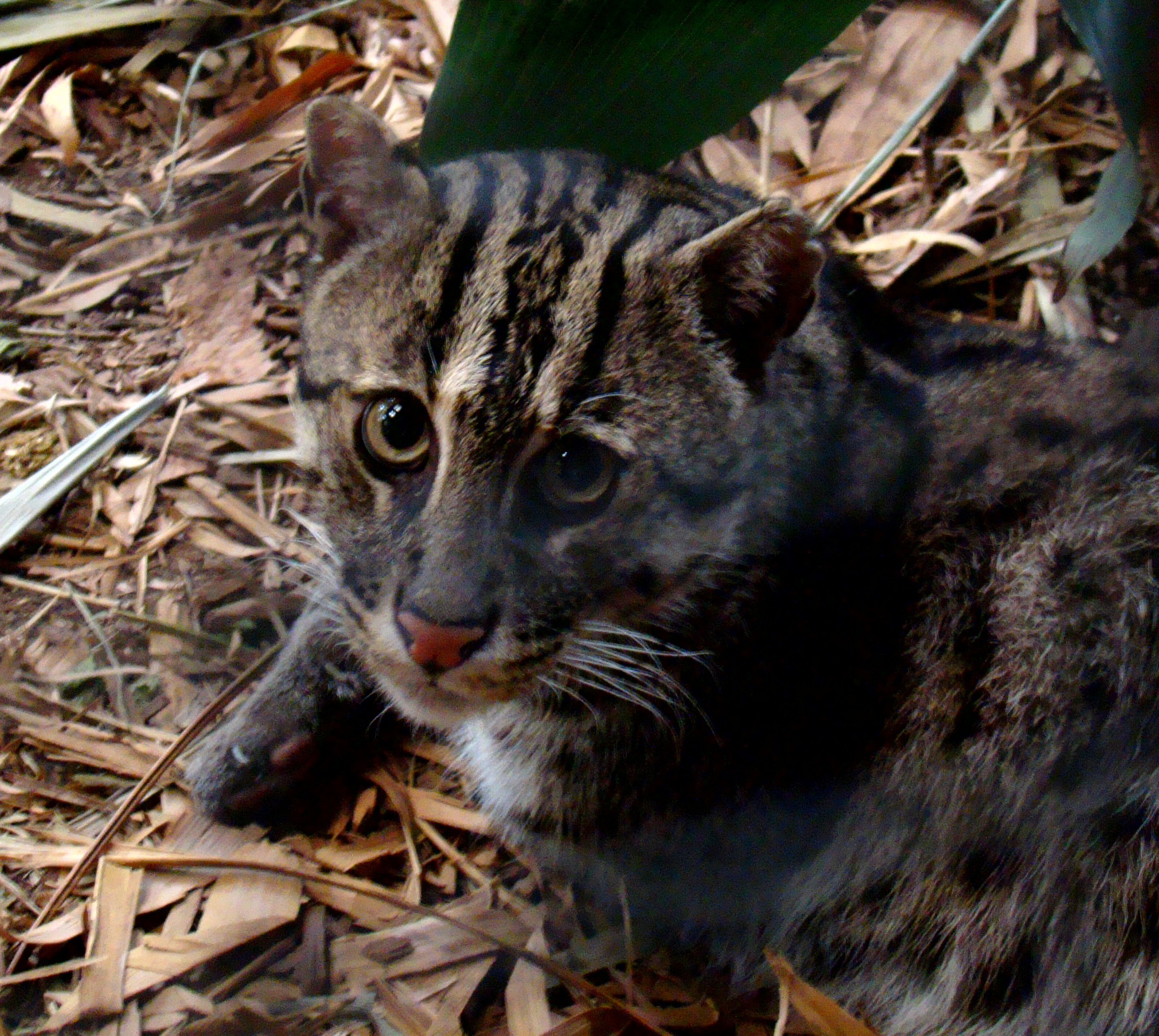 http://upload.wikimedia.org/wikipedia/commons/d/db/Portrait_of_a_Fishing_Cat_at_Taronga.jpg