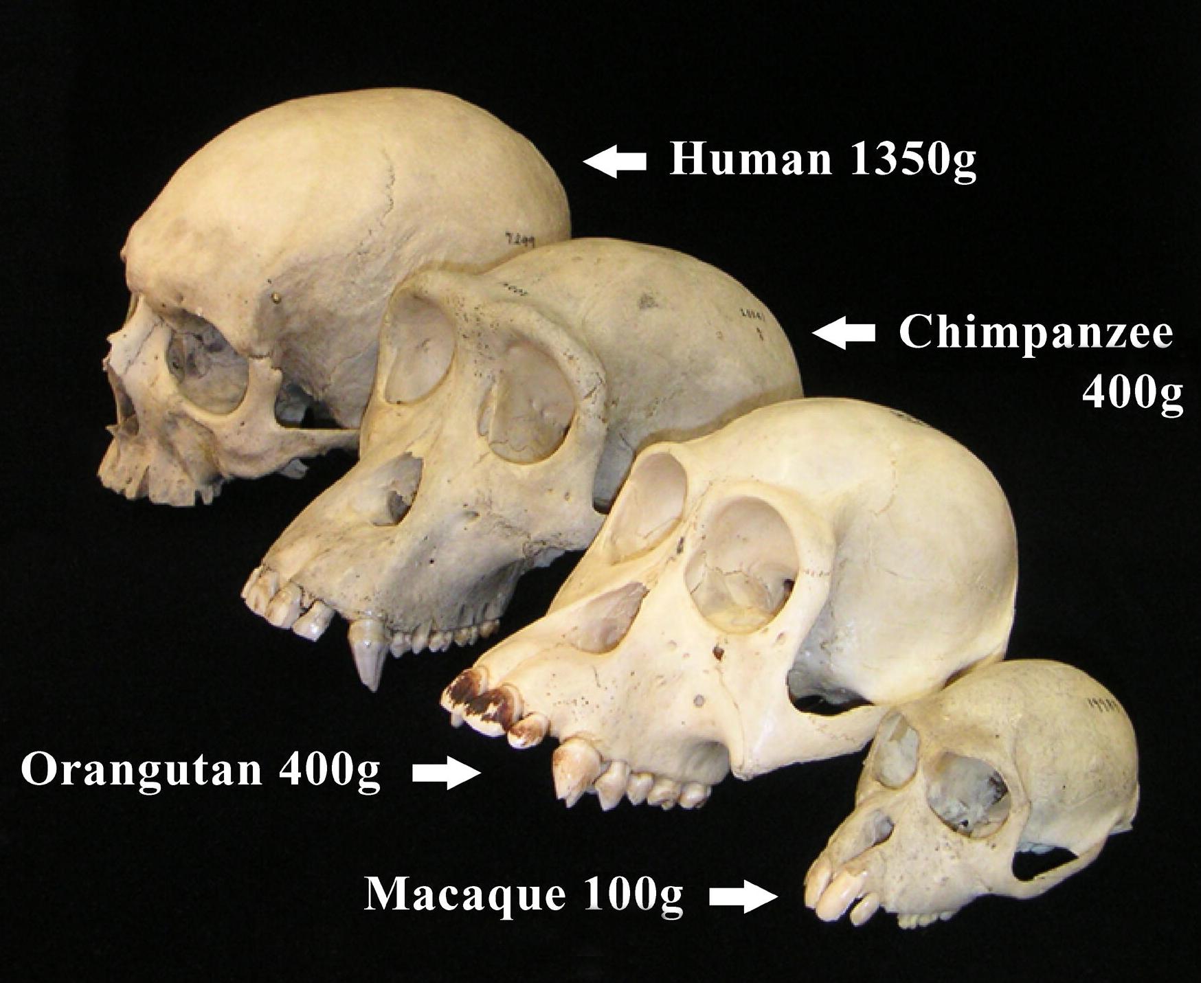 Primate crania with brain masses indicated