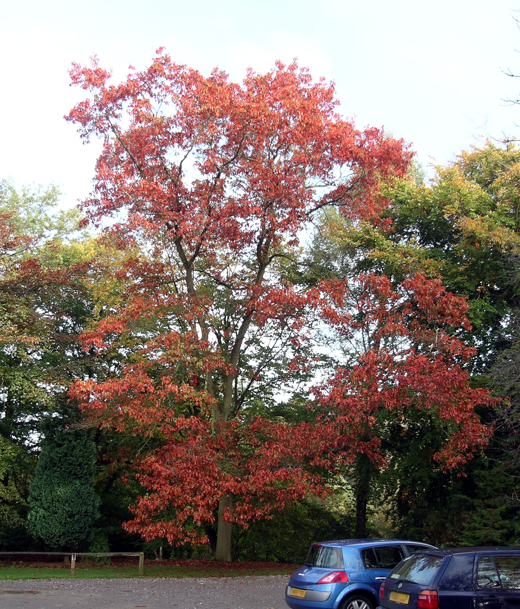 The quercus rubra,  our well known and loved red oak