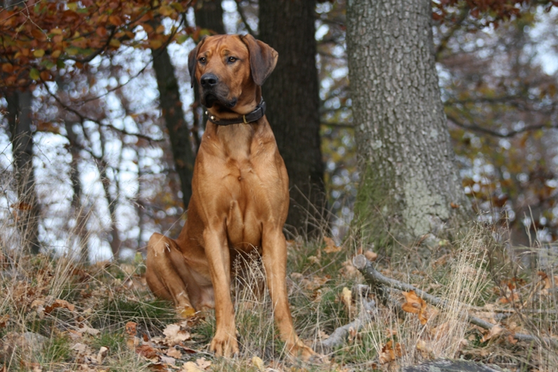 Rhodesian ridgeback By Vulkano12 - Own work, CC BY-SA 3.0, https://commons.wikimedia.org/w/index.php?curid=27012148