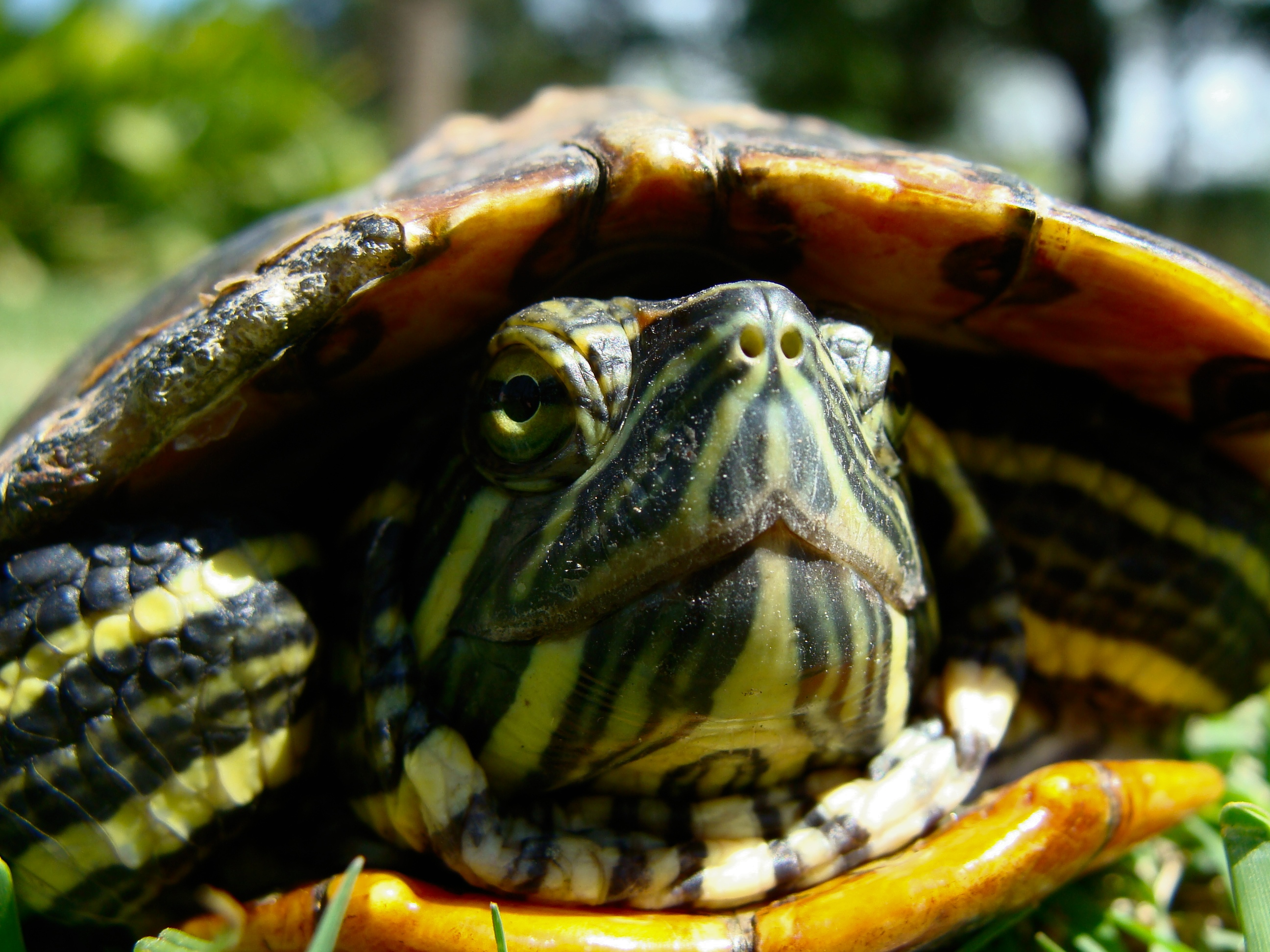 File:Red Eared Slider at McNayWikimedia Commons