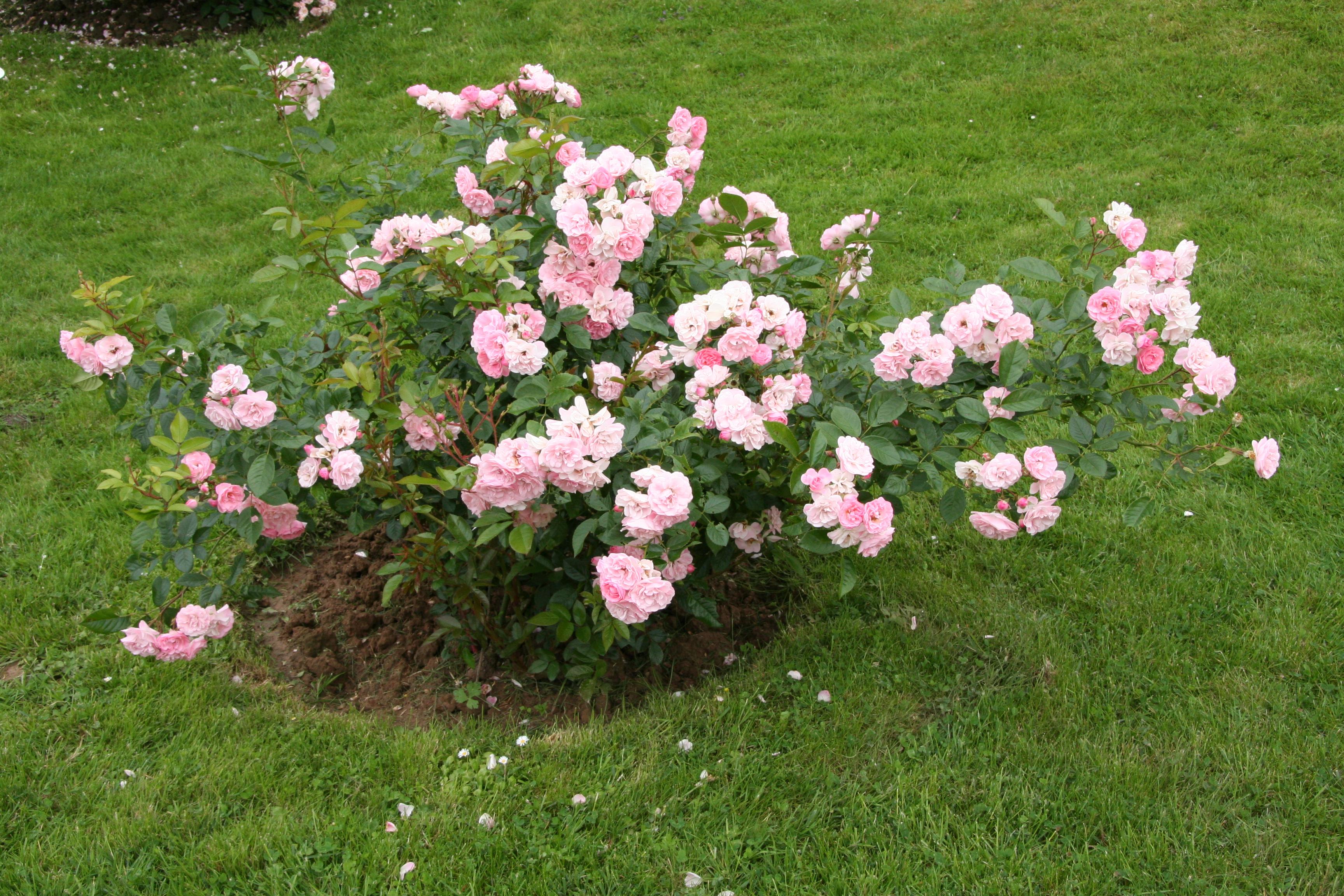 Как часто поливать розы летом на улице