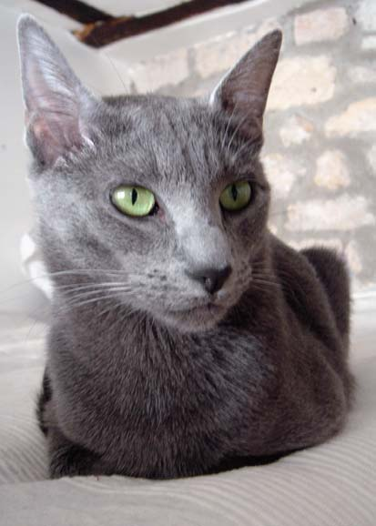 Gray Cats Russian Blue Facebook