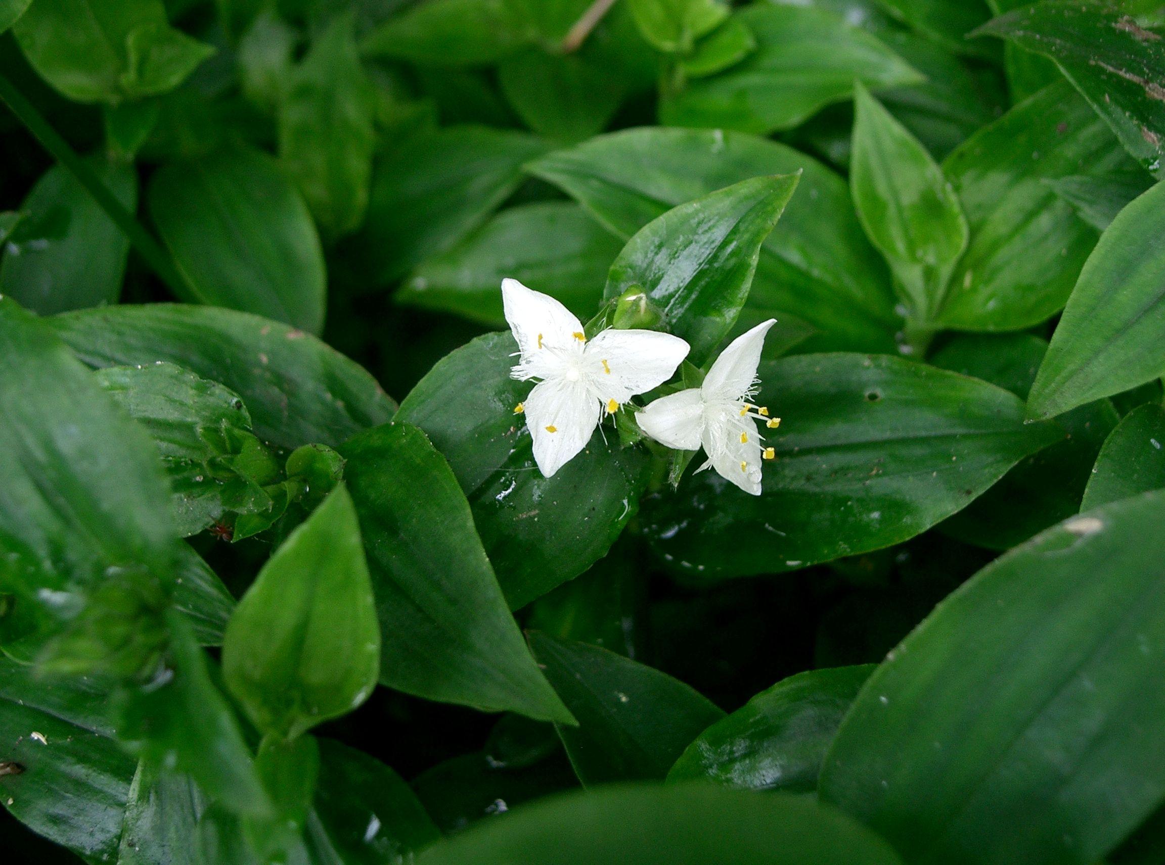 Комнатные цветы традесканция и фото