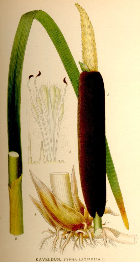 Typha latifolia Breitblättriger Rohrkolben