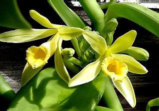 [Bild: Vanilla_planifolia112686509.jpg]