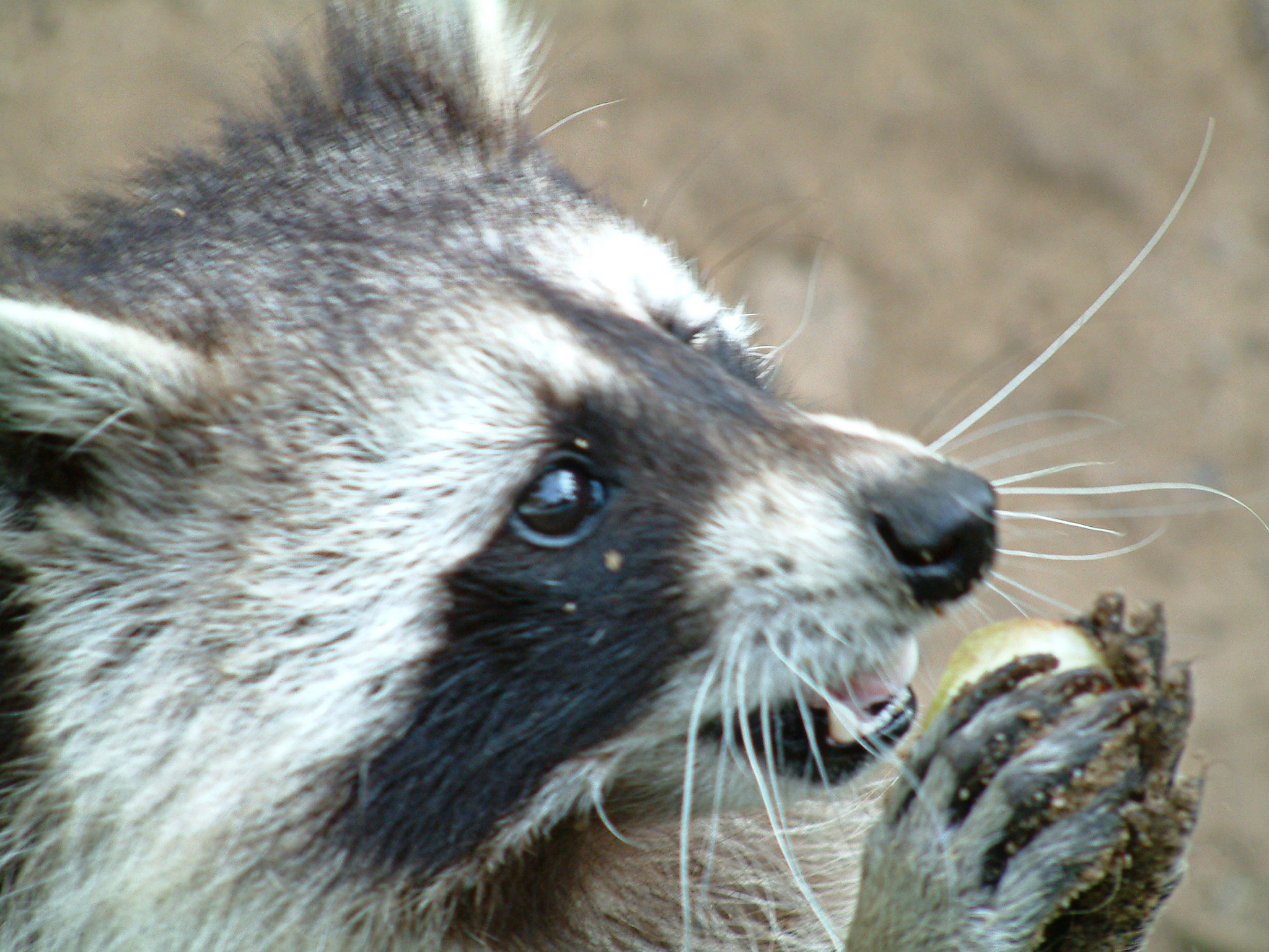 Princeton landing news nature guide skunks and raccoons for Do raccoons eat fish