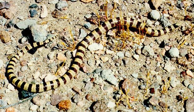 Western shovel-nosed snake at the Nevada Test Site