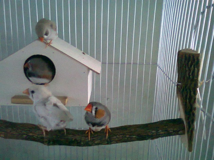 File:Zebra Finches In Cage.jpg - Wikimedia Commons