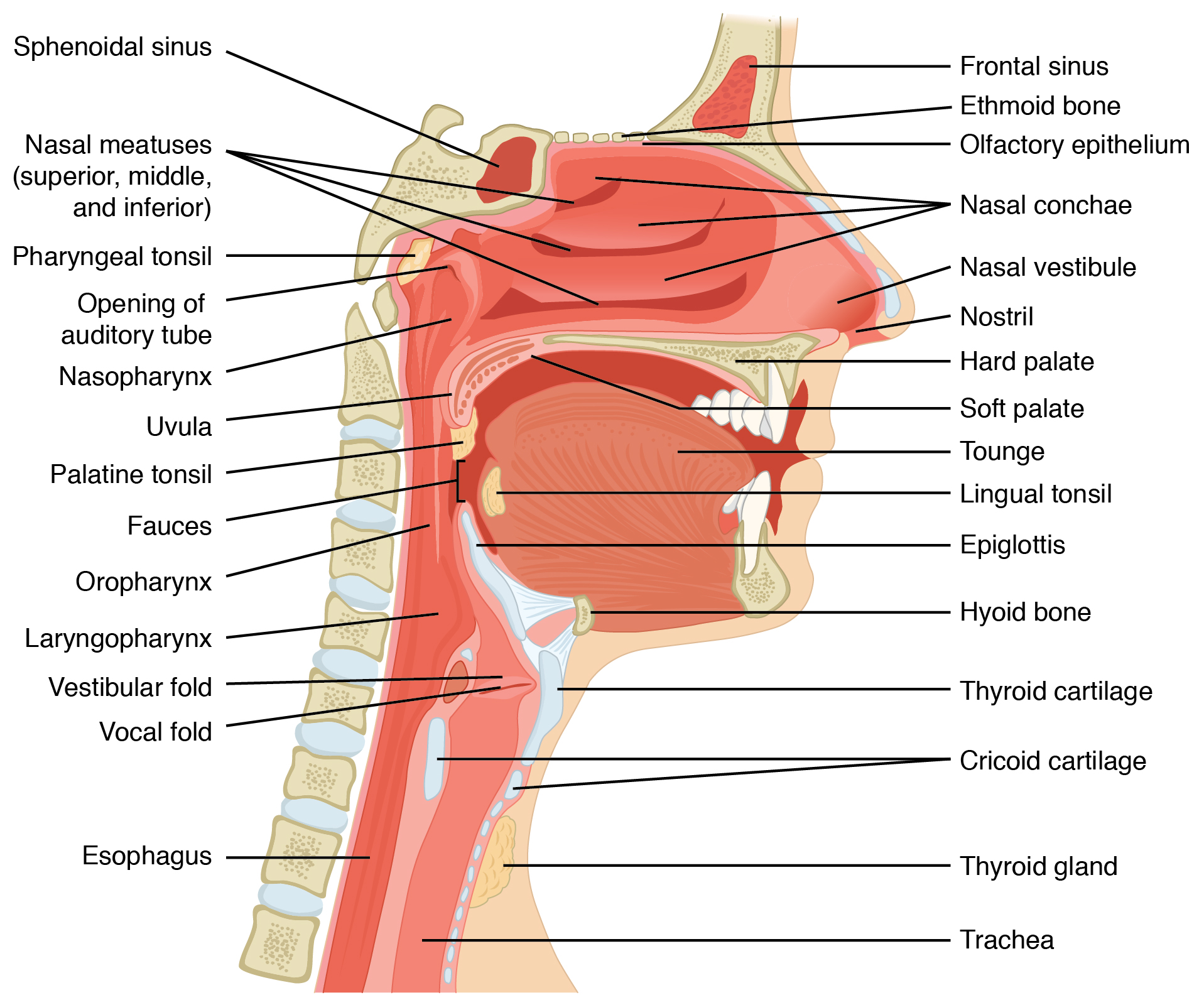 File:2303 Anatomy of Nose-Pharynx-Mouth-Larynx.jpg - Wikimedia Commons