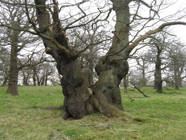 Ancient Oaks in Dalkeith Country Park - geograph.org.uk - 1204536