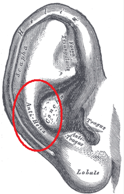 Antihelix - Wikipedia