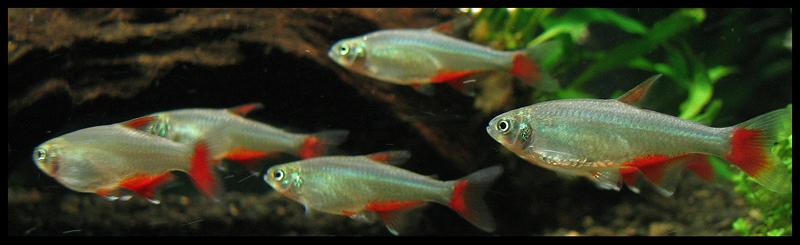 This school of Bloodfin Tetras could live happily with goldfish