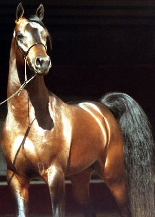 Horse Tails or How God Answers Prayers. - Page 2 Arabian_Horse_(Stallion)