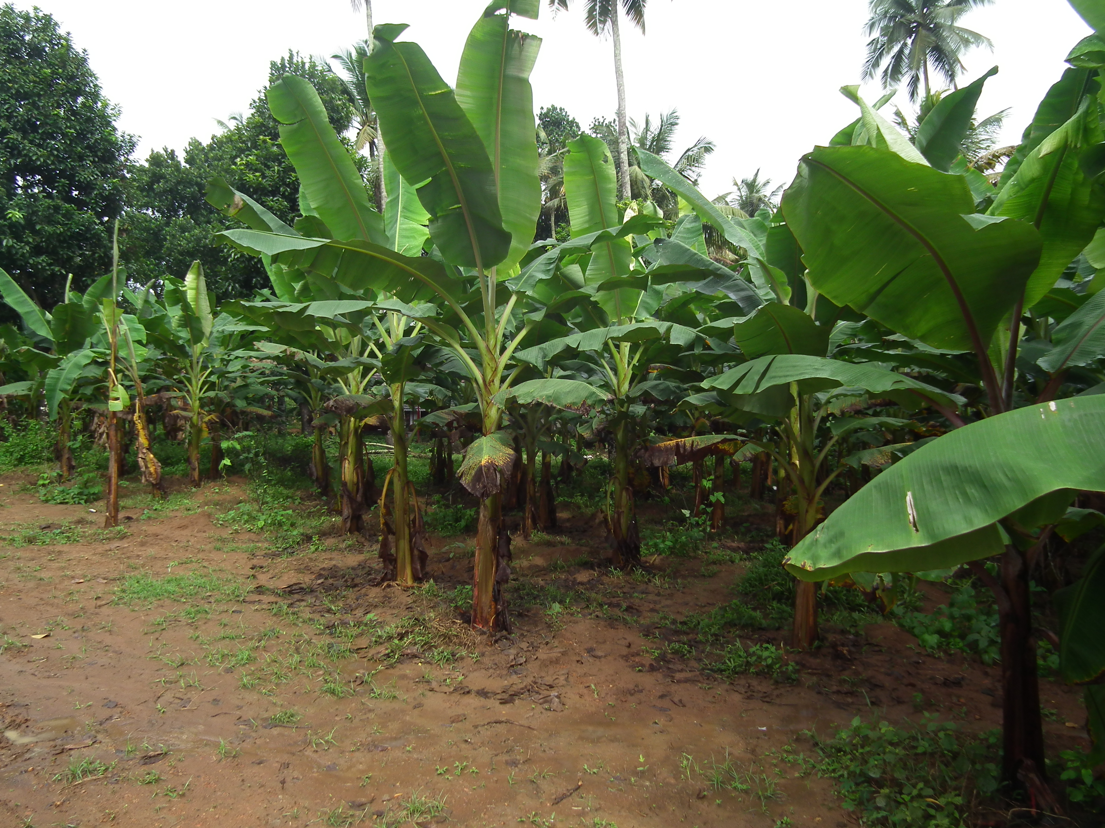 File:Banana Tree from Kerala 5002.JPG