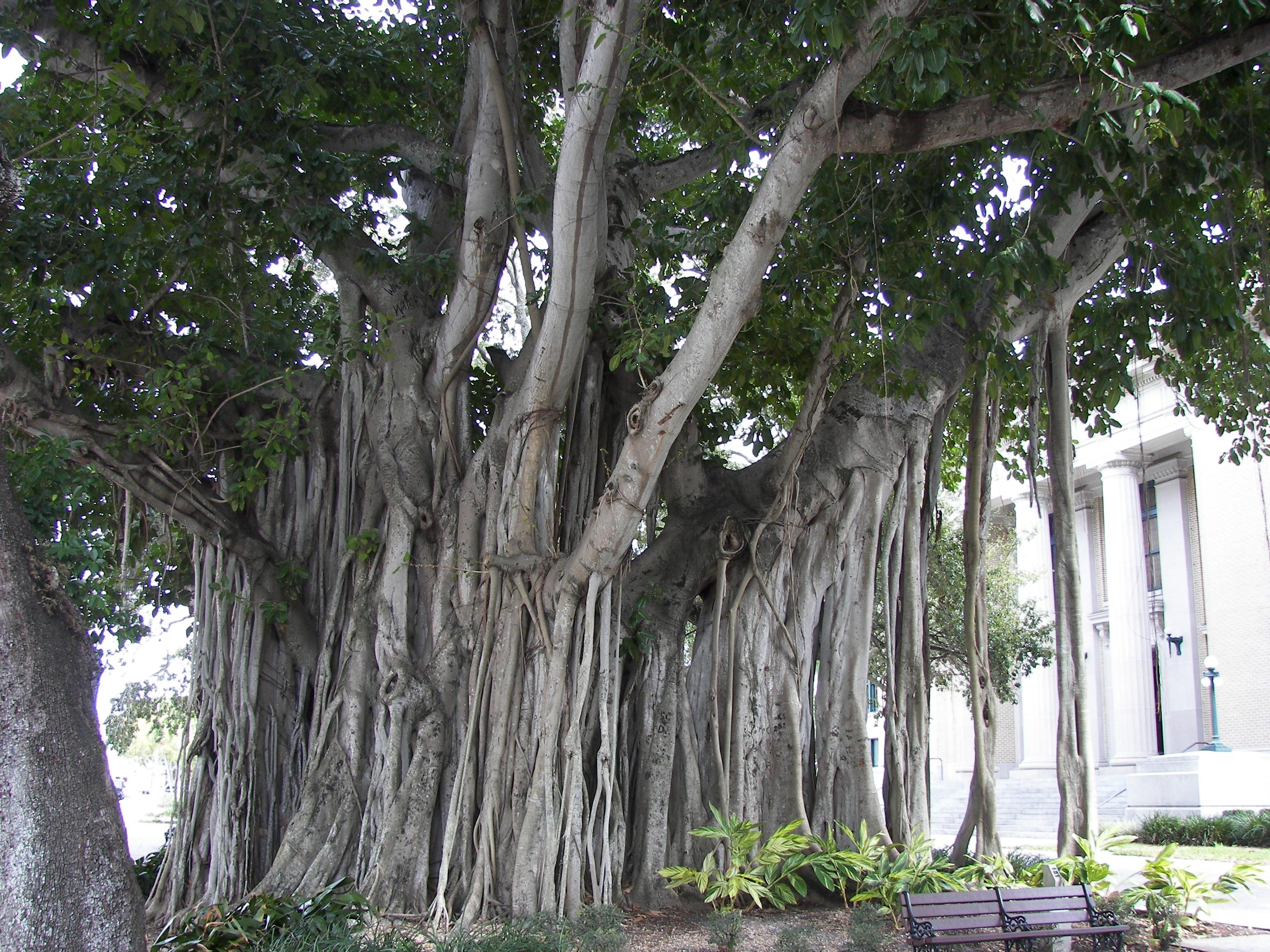 Mitos pokok ara