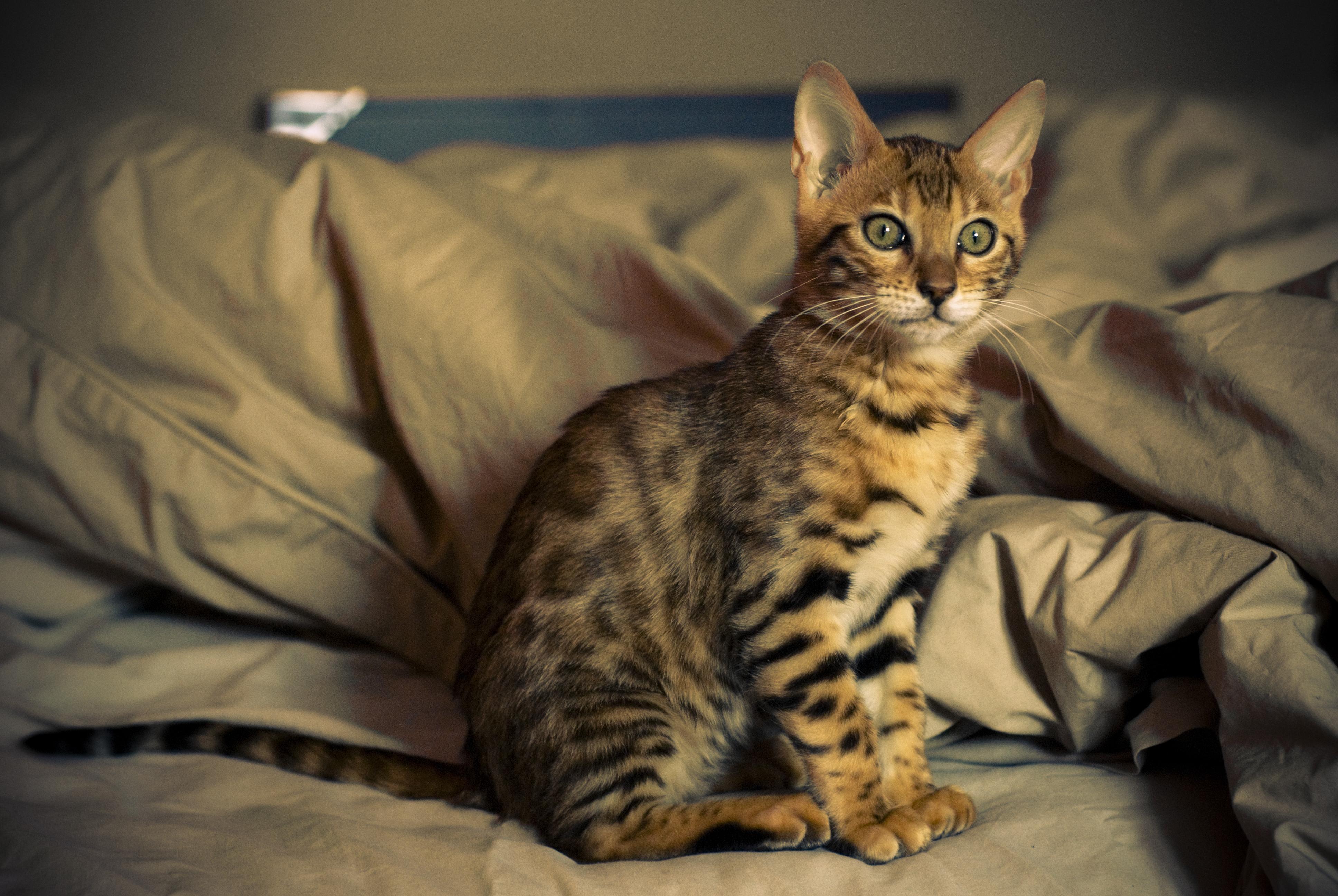 Bengal Cats For Adoption Bengal Cat Adoption Northern California