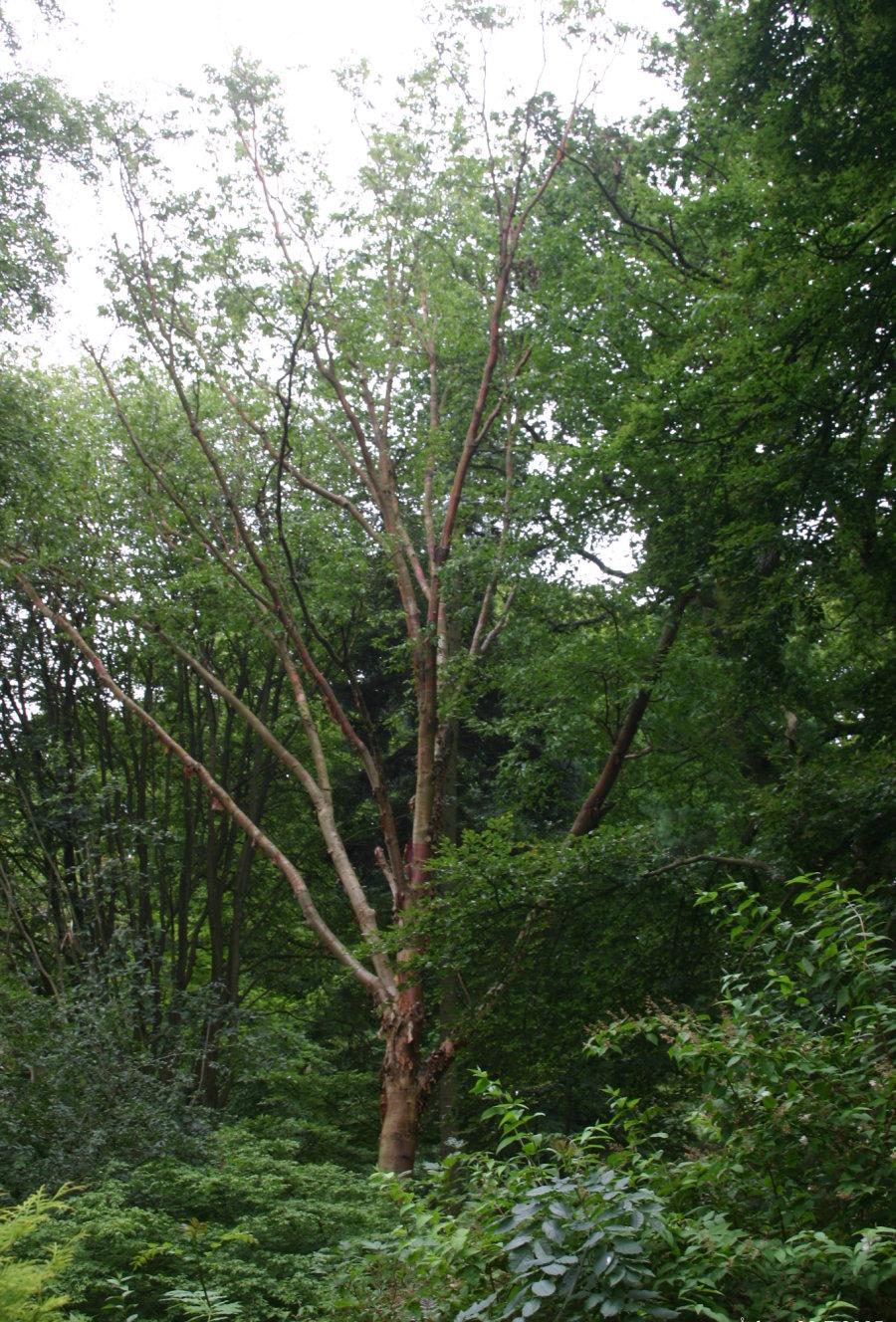 Betula albosinensis - Wikipedia