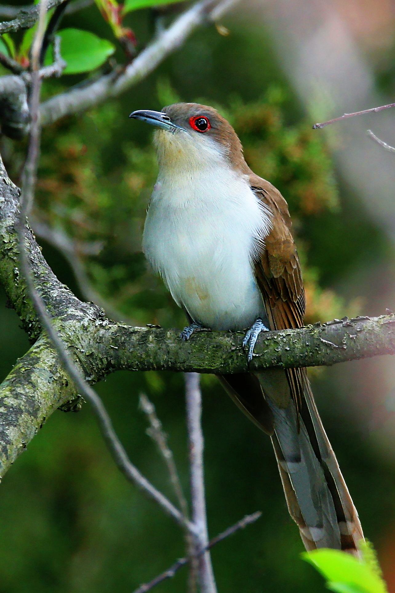 FileBlack Billed Cuckoo