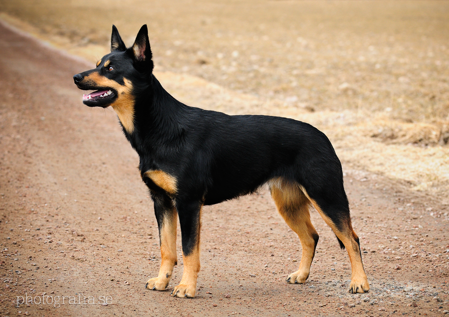 Heeler Dog Breed