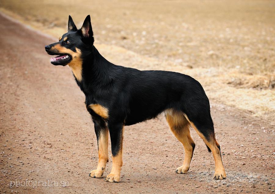 Irish Herding Dog Breeds