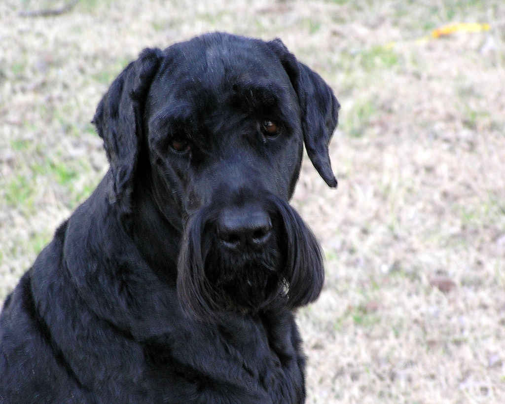 Black Russian Dog For Sale