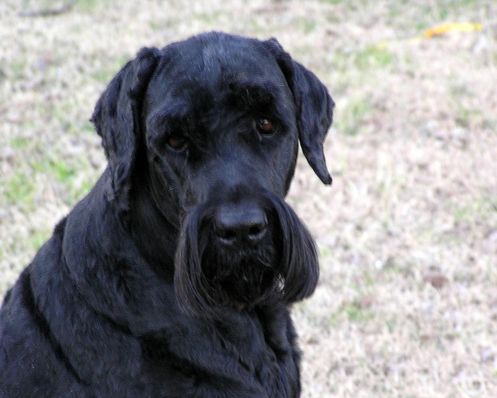Dog Breed Info Irish Terrier