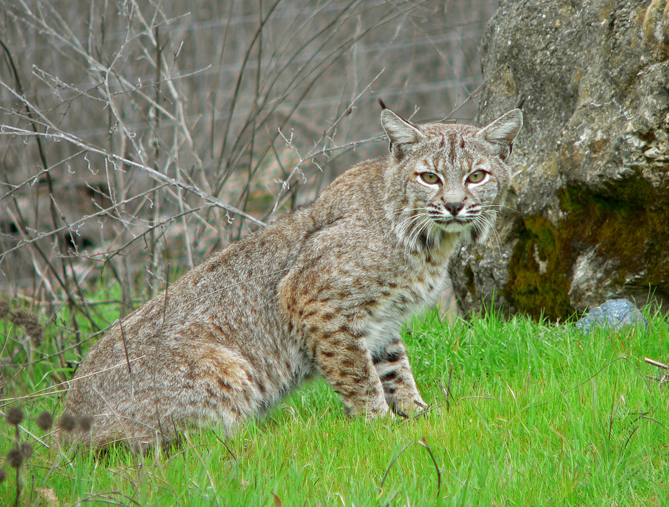 Bobcats Animals Face Images & Pictures - Becuo