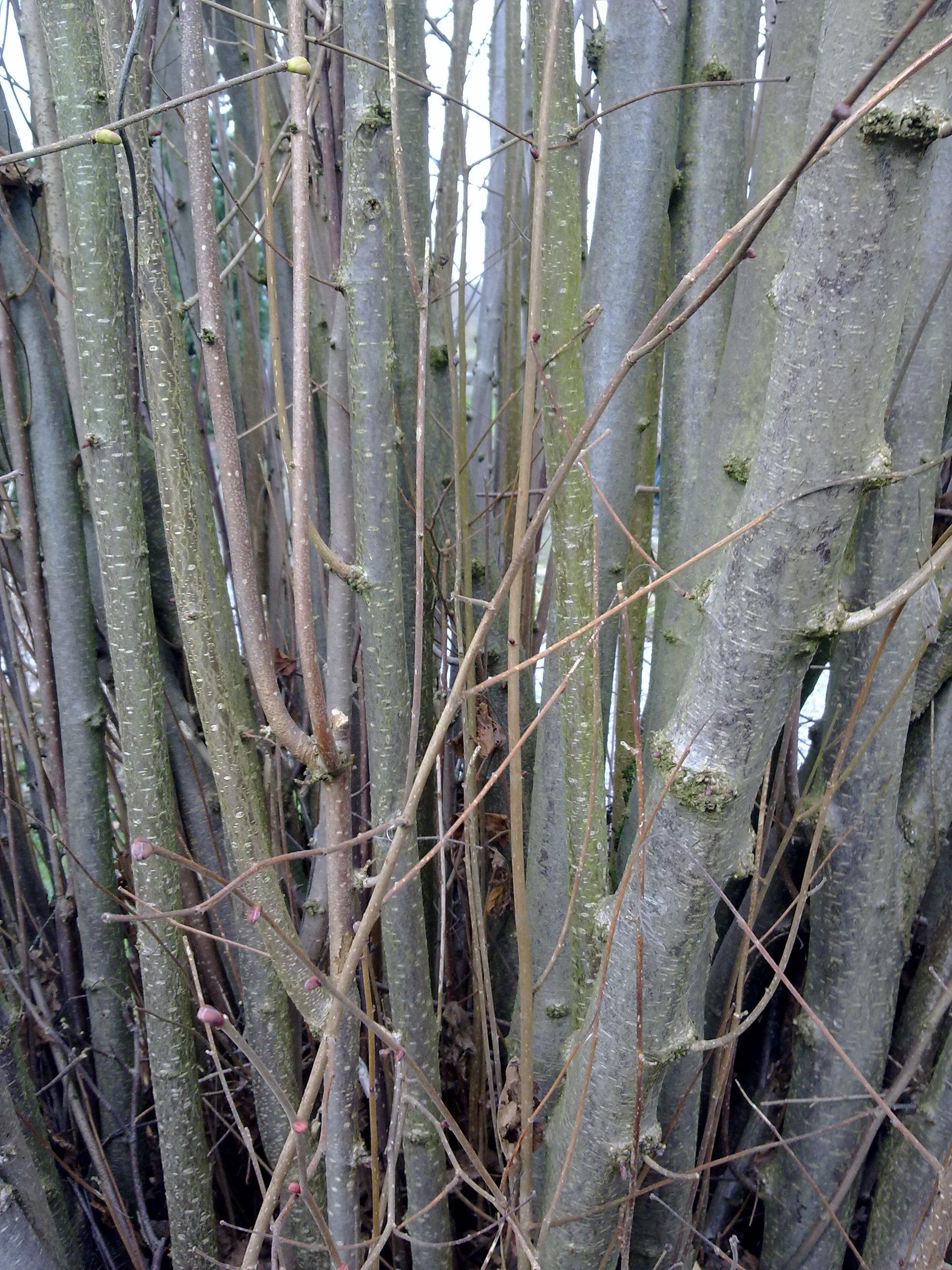 File bois de wikimedia commons - Arbre fruitier comme bois de chauffage ...