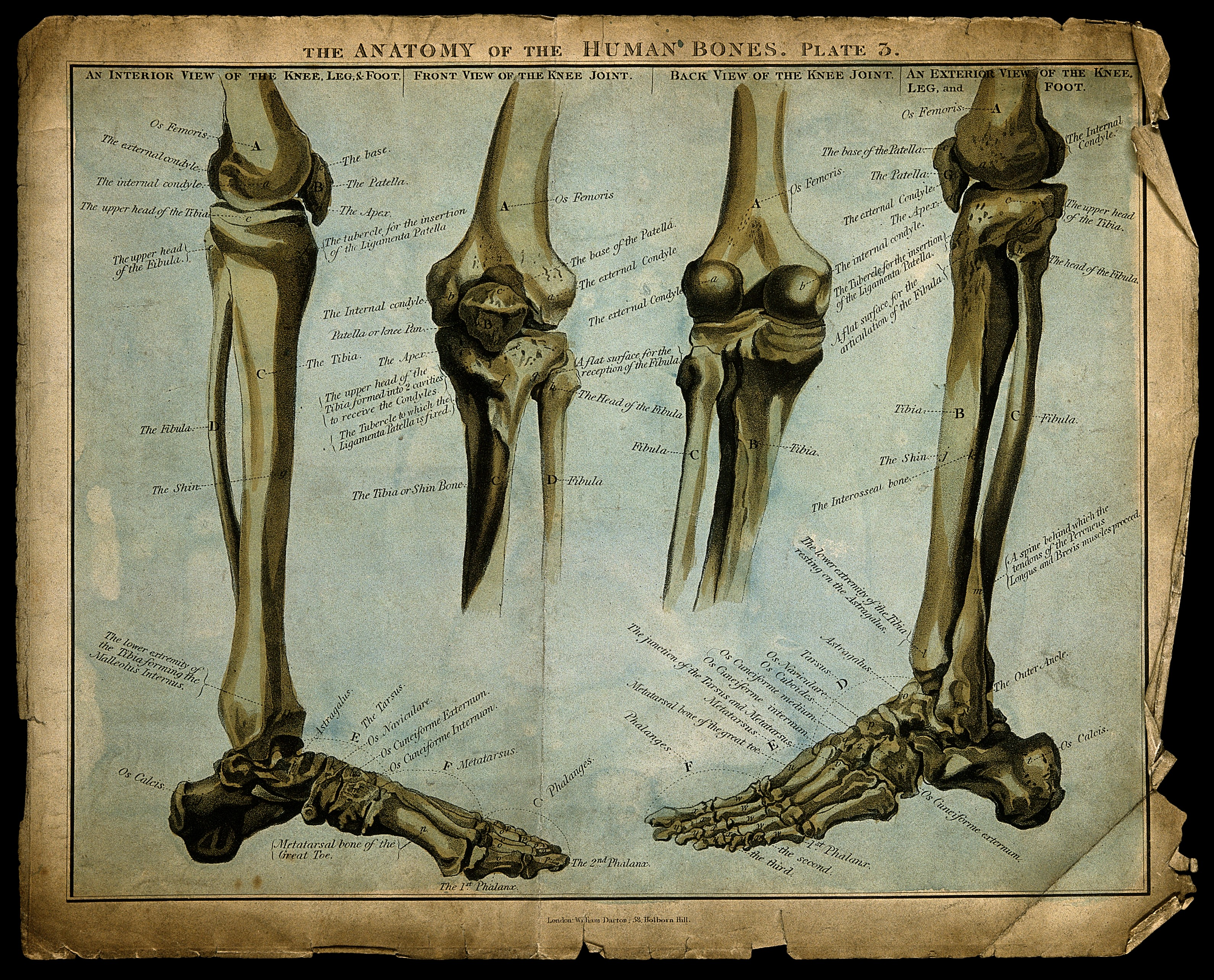 Filebones Of The Lower Limb Knee And Foot Four Figures Colour