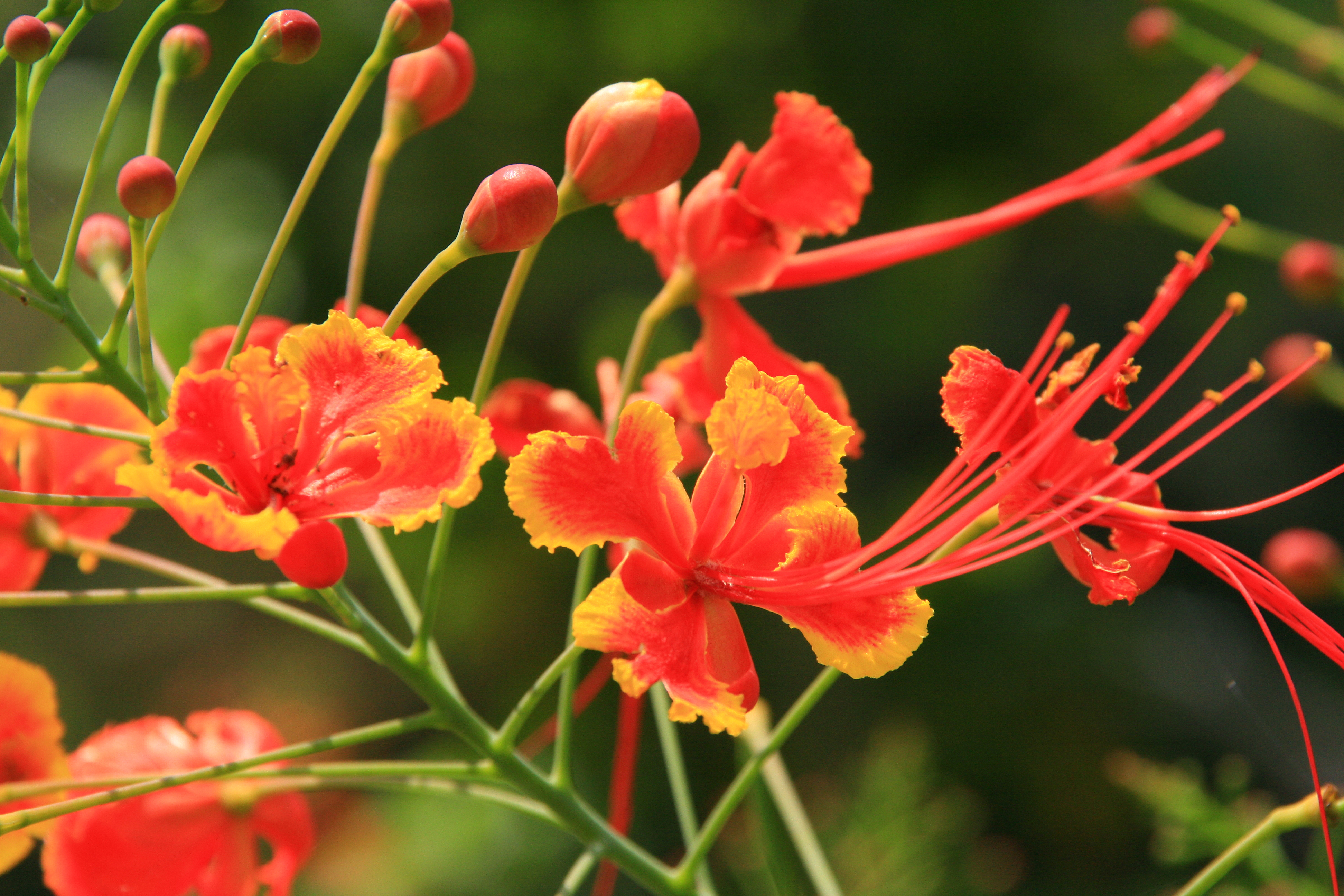 Pride Of Barbados Huge Wall Painting Clairmonte Mapp