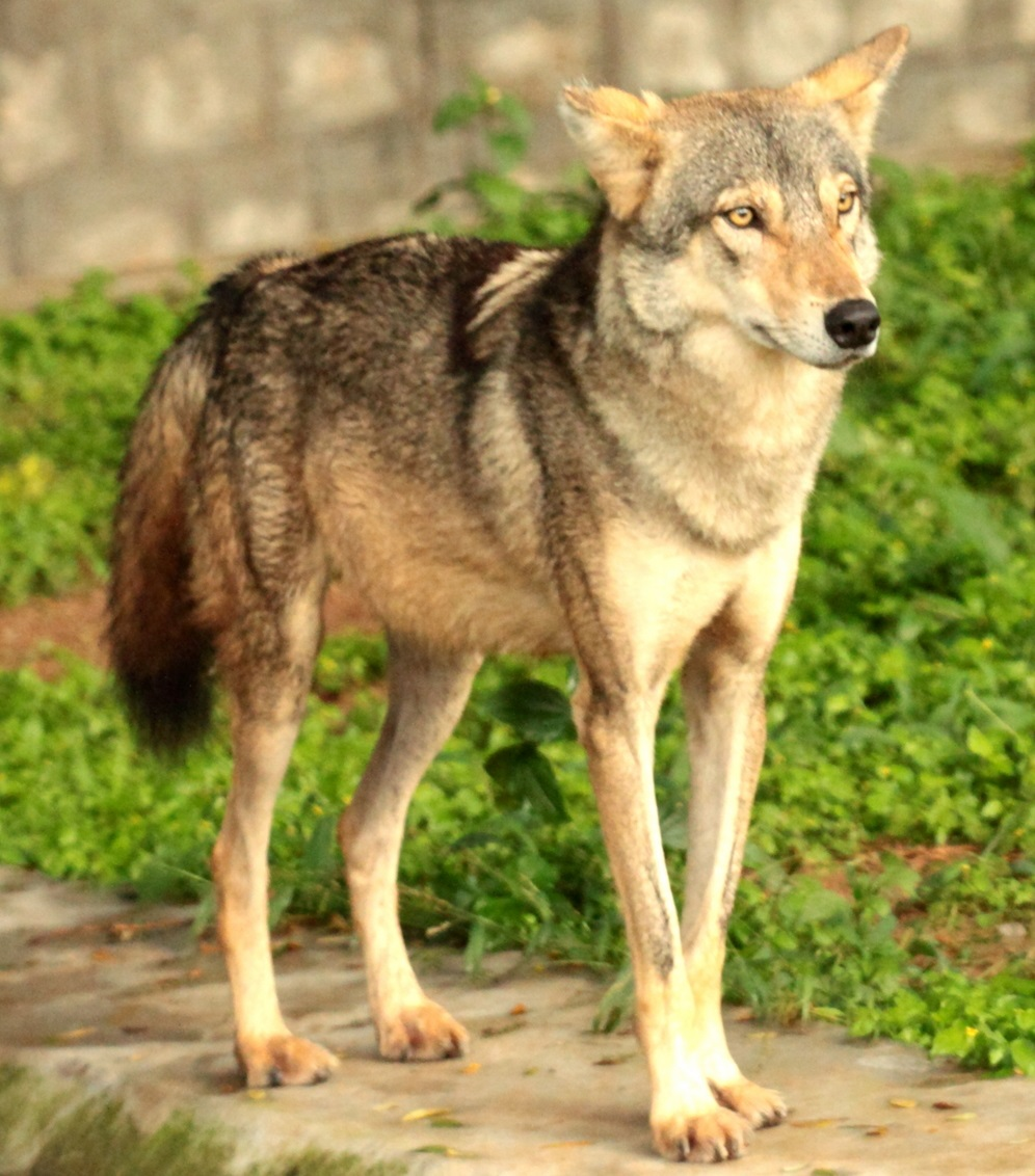 free indian wolf pictures