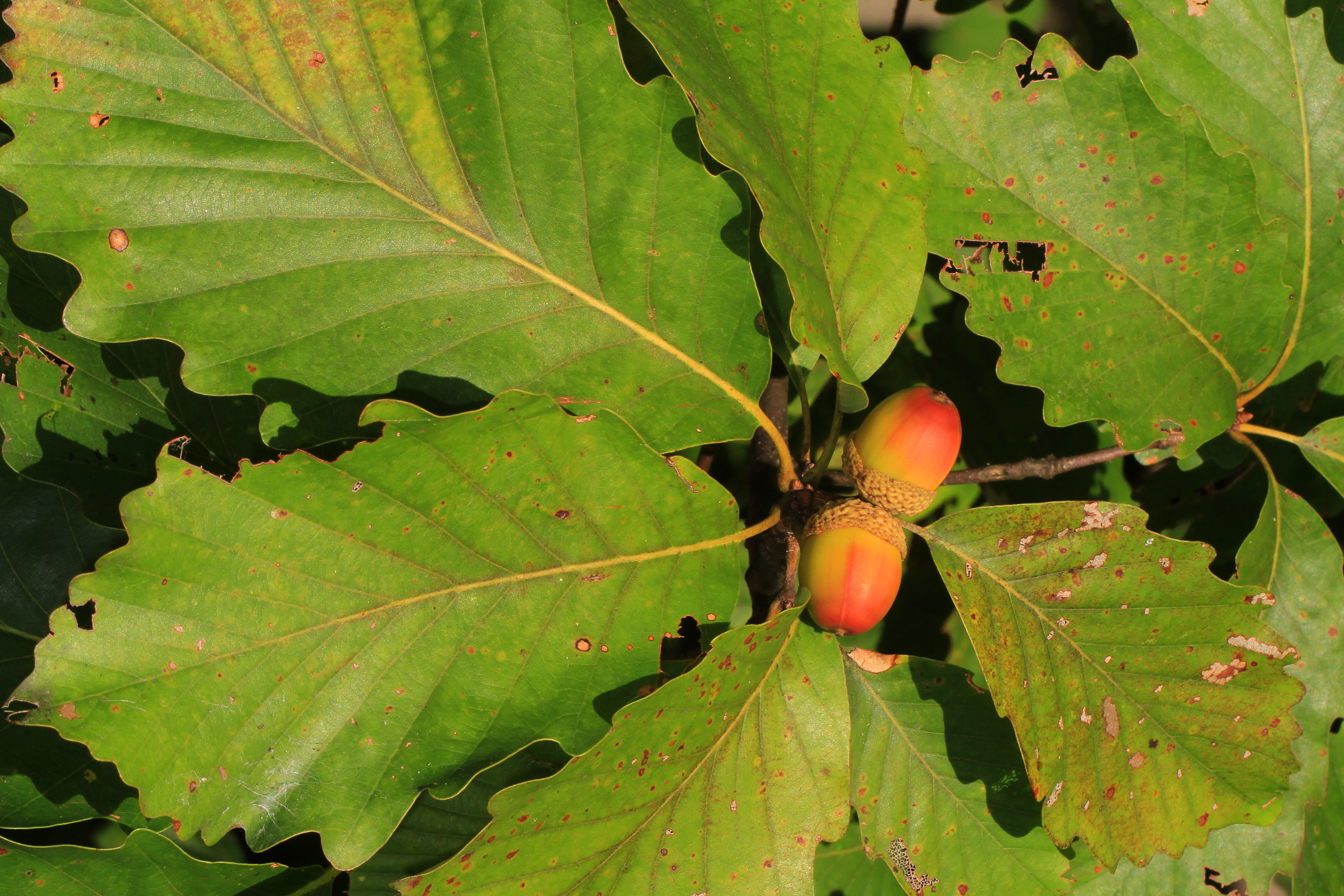 https://upload.wikimedia.org/wikipedia/commons/d/dc/Chestnut_Oak_-_Quercus_montana%2C_Meadowood_Farm_SRMA%2C_Mason_Neck%2C_Virginia.jpg