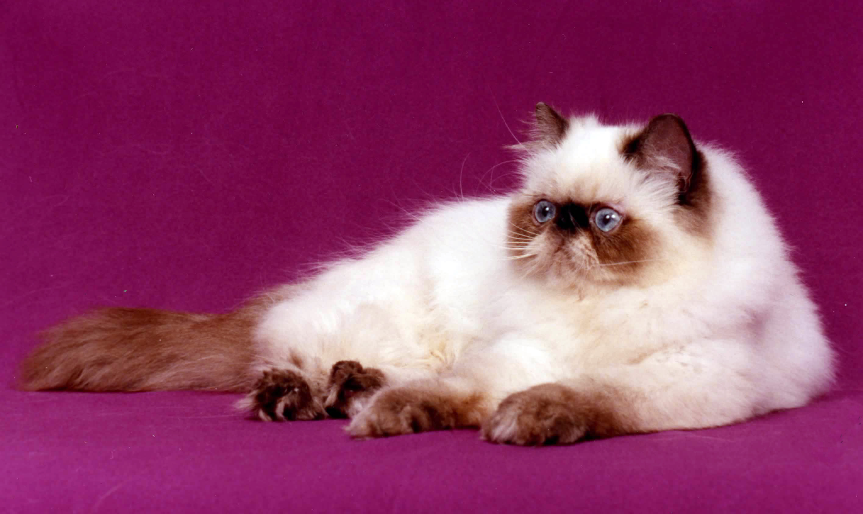 Persian cat Wikiwand