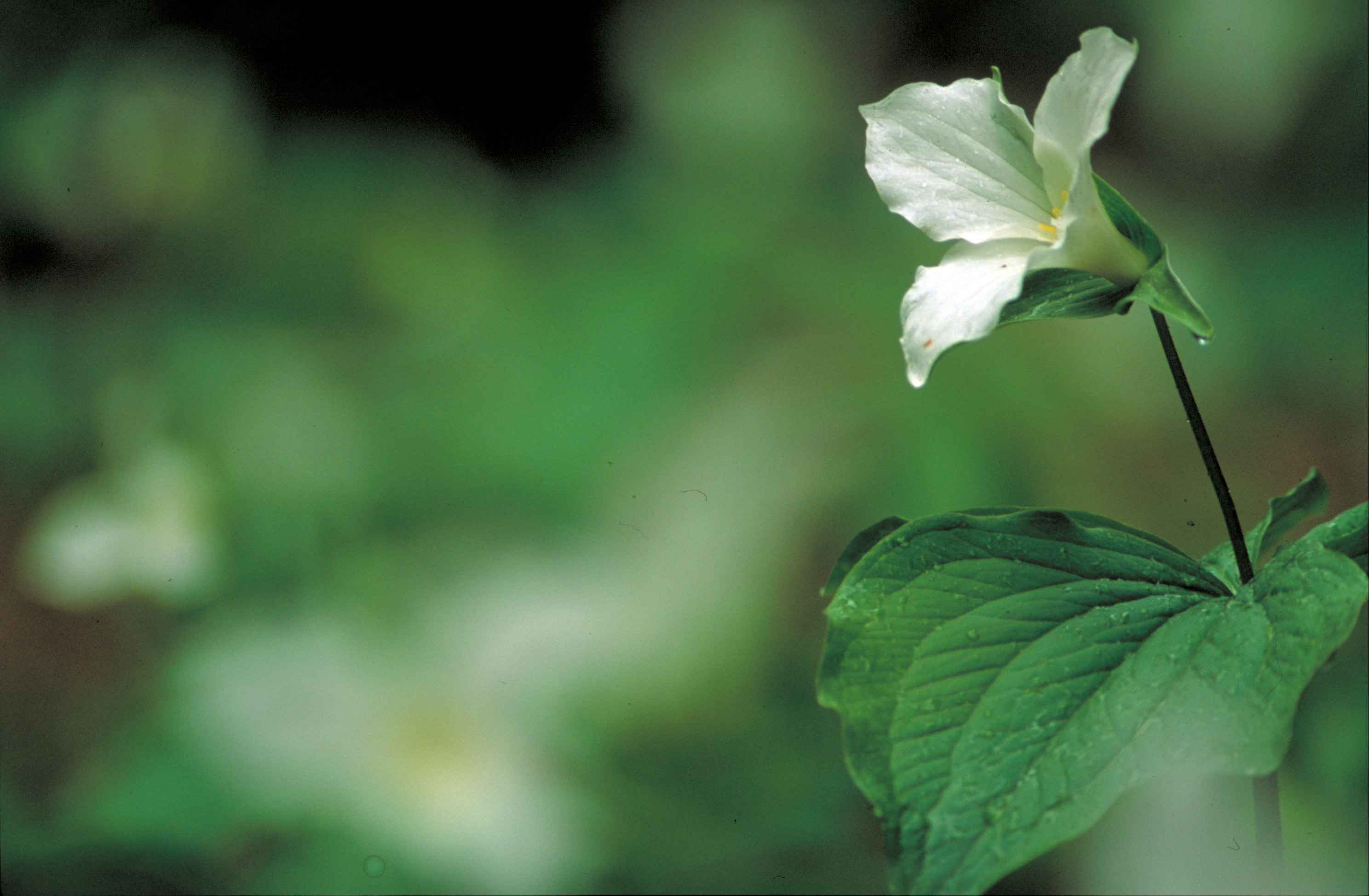 Fileclose Up Of Delicate White Trillium Flower Trillium