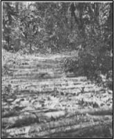 Charlie Company 65th Brigade Engineer Battalion Used Coconut Trees To Construct A Corduroy Road In New Georgia During World War II