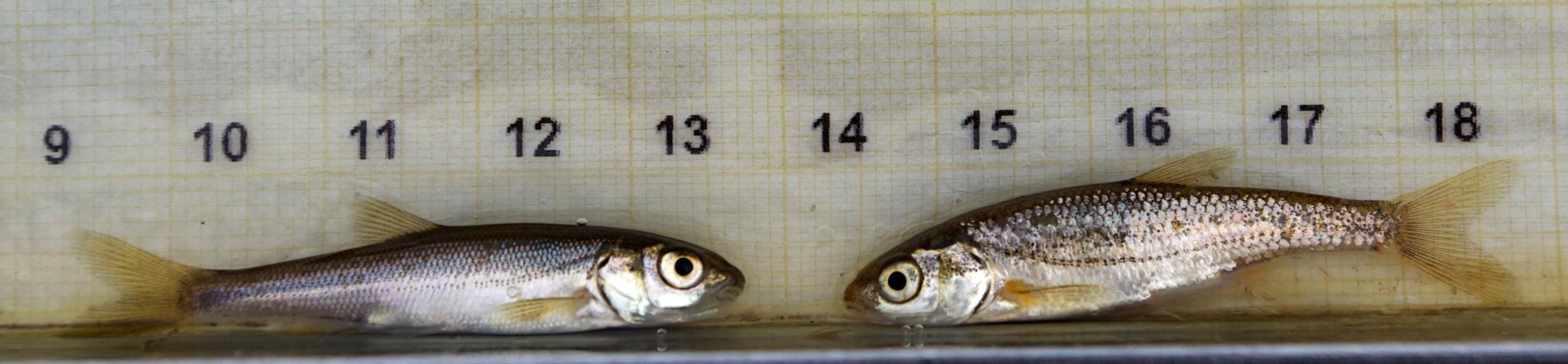 File:Cyprinidae 03 by-dpc.jpg - Wikimedia Commons