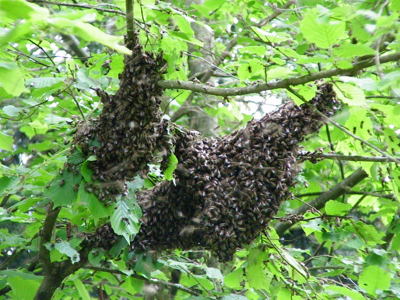 Essaim d'abeilles posé.JPG
